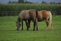 pferde in wennerode5